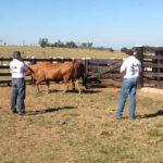 S+ realiza avaliações de doadoras e touros do criatório SAAR Senepol