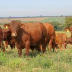 Araçatuba tem primeiro leilãode Senepol com touros avaliados