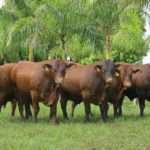 Leilão Touros Expo Araçatuba, dia 14, tem 70 animais avaliados pelo Geneplus