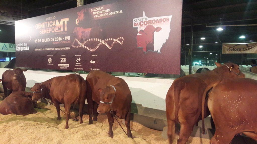 Doadoras Conquista e Coroados aguardam a hora de entrar na pista para o Leilão Genética Senepol MT, em Cuiabá.