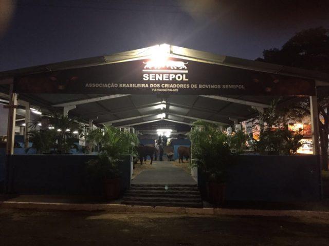 Pavilhão de Senepol criado pela ABCB na Exposição de Paranaíba/MS recebeu 40 animais de quatro criatórios. (Fotos: Divulgação)