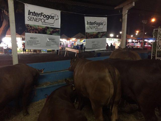 Interfogos expões seus animais em Paranaíba, pensando em oferta especial para 2017.