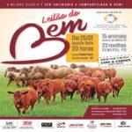 Leilão do Bem vende 23 fêmeas Senepol em Campo Grande/MS
