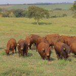 Dia de Campo mostra os 80 touros do 3o Leilão de Touros JRS Senepol e Convidados do dia 13
