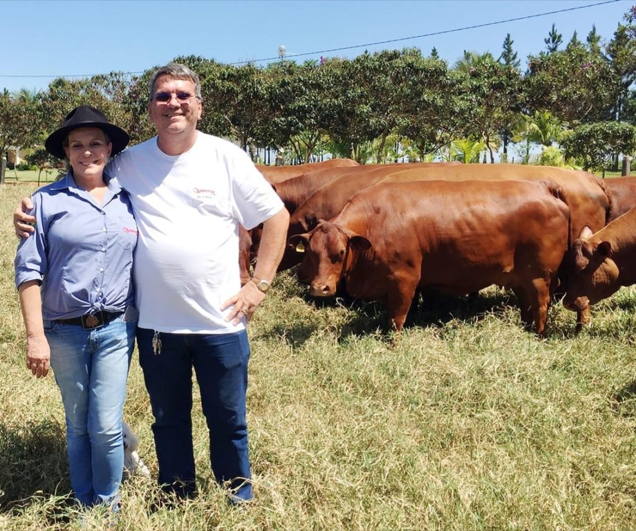 Ivo e Vera Reich com animais da CMI em preparação para o Leilão Divas do Senepol, dia 21, em Campo Grande/MS. (Foto: Casa Nova Agromarketing)