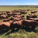 MAC Senepol vende 50 touros e 50 matrizes no seu leilão virtual dia 27