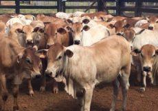 Bezerrada padronizada da Fazenda Vale do Ipê, em Barra do Garças/MT, desmamada com 220 kg (fêmeas) e 250 kg (machos) estritamente a pasto. (Fotos cedidas pelo criador)
