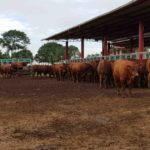 Grama leva a leilão seus novos touros Topázio e 20 doadoras elite dias 25 e 26