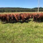 Giongo Senepol estreia leilão com 50 touros e 25 novilhas prenhas
