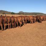 Giongo Senepol volta ao mercado com novilhas em 24/10 e touros no dia 14/11