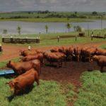 ZB Senepol liquida plantel com oferta de 100 fêmeas em 2 dias