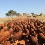 Leilão Topázio vende os 150 melhores touros dias 20 e 27/10