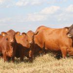 Grama transfere genética de ponta e melhora produção de touros Senepol no Norte do MT